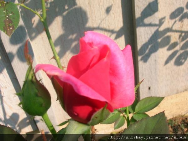 玫瑰rose4.jpg