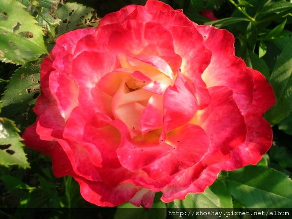 玫瑰rose5.jpg