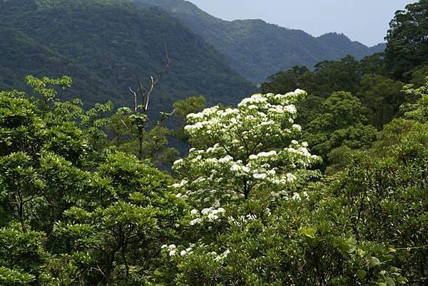 上山途中的油桐花