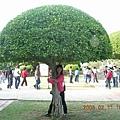 雨傘樹跟我