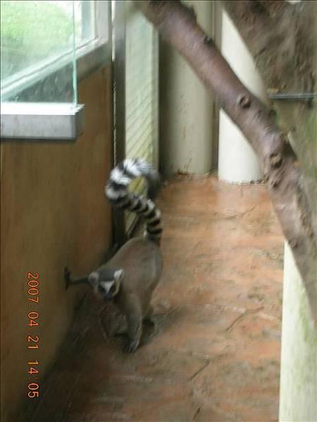 是馬達加斯加島裡面的那群狐猴們