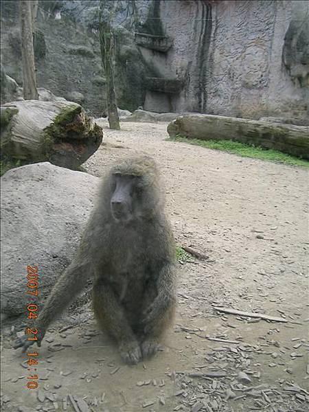 坐的很好笑的猩猩...還是狒狒?!