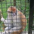 一直跟別人要東西吃的猴子