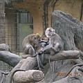 真和樂的猴子家族! 小孩在吸奶耶
