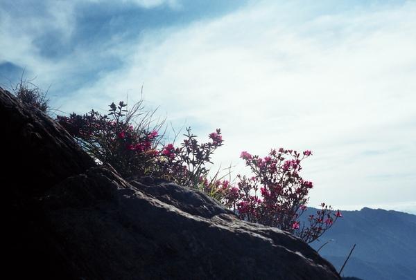 懸崖邊的杜鵑
