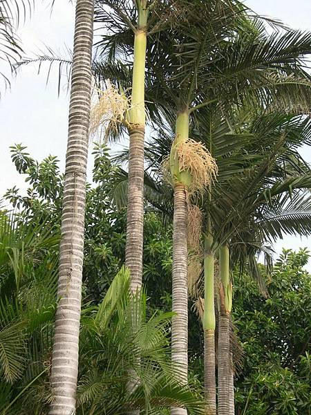 大王椰子樹