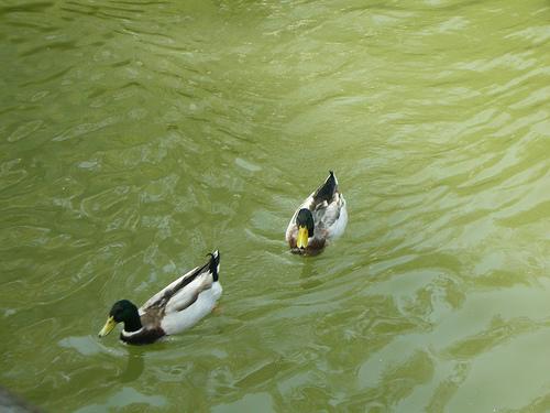 蓄木池中的綠頭鴨 (by ShuLin)