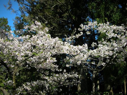 梅園入口櫻花