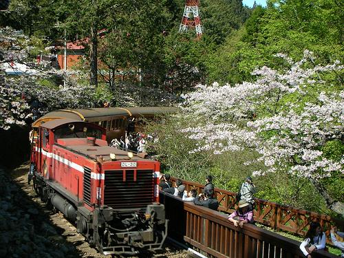 小火車和櫻花