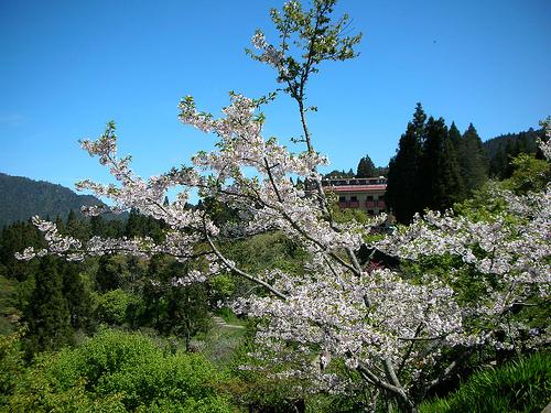 沼平公園櫻花