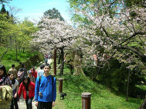 網球場旁的櫻花步道
