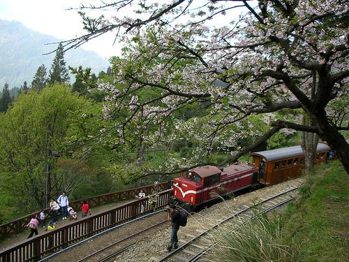 小火車與櫻花