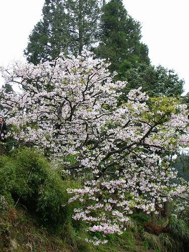 鐵道旁的櫻花
