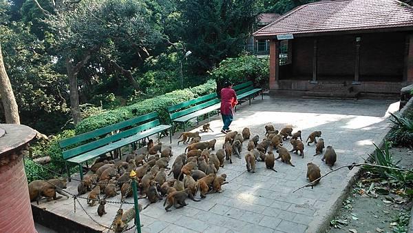 尼泊爾旅遊猴子廟