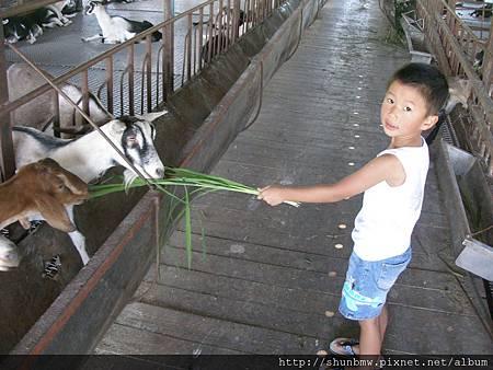 宜農牧場餵羊咩咩