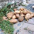 滿地發芽馬鈴薯