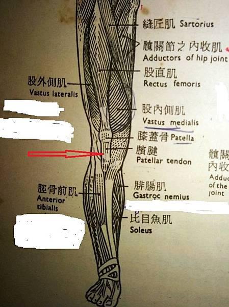膝蓋骨1.jpg