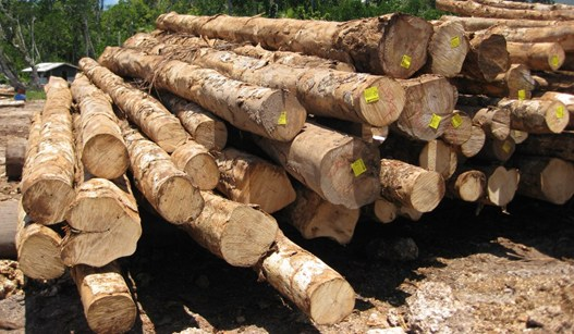 fsc_certified_white_teak_logs_contentImage
