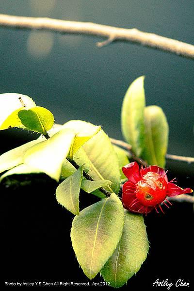 惡魔果實-紅南瓜