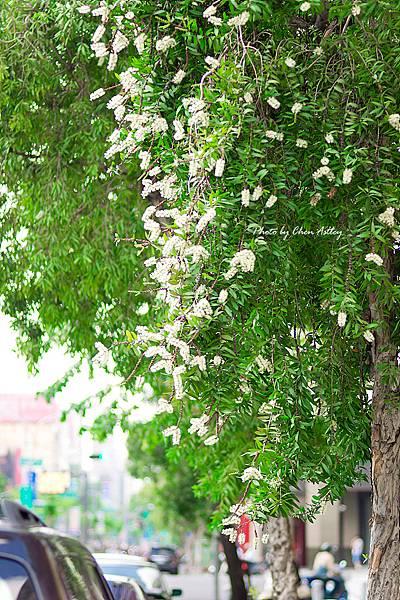 行道樹一般風情