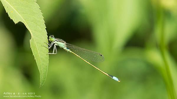 青紋細蟌(雄、綠色型),胸側綠色,腹末2節有藍DSC03601.jpg