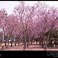 洋紫荊花. 艷紫荊. 紅花羊蹄甲