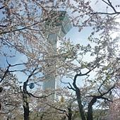 櫻花叢中的五陵郭塔