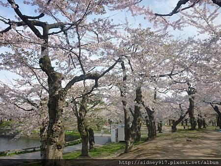 美不勝收的櫻花景