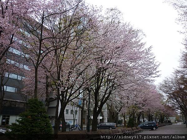 大通公園的櫻花