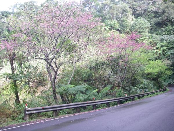 路邊之櫻花盛開