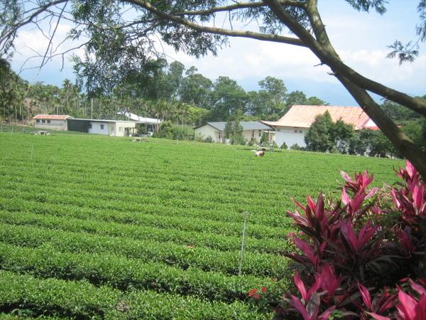 觀音佛祖寺旁的茶園.JPG