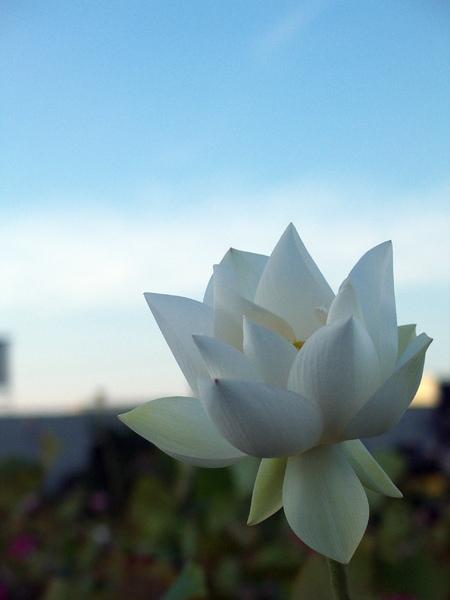lotusW