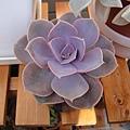 Echeveria cv. PERLE VON NURNBERG 紐倫堡珍珠 / パールフォンニュルンブルグ