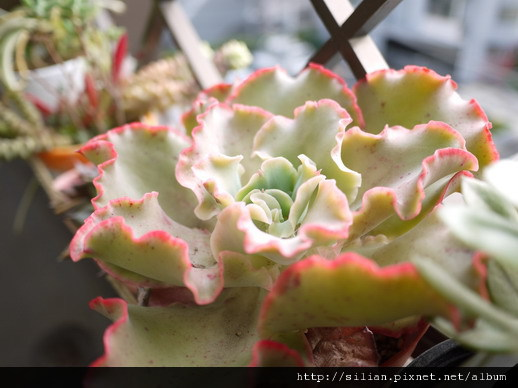 2011/5/13 Echeveria cv. Takasagonookina 高砂之翁