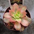 Aeonium decorum cv. Variegata / 夕映え