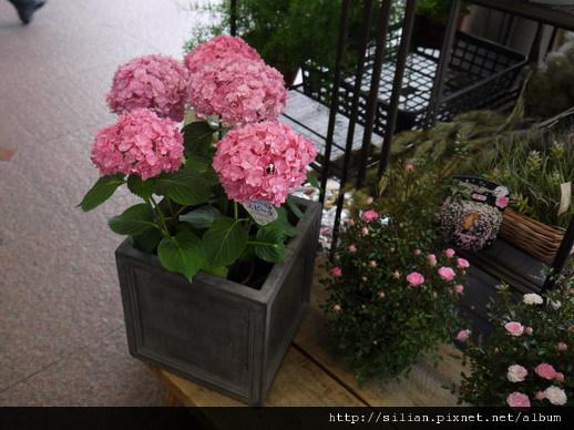 在神戶遇見的繡球花