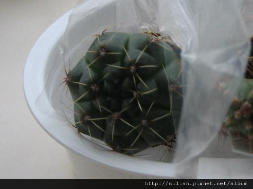 2008/11/3 緋花玉 Gymnocalycium baldianum