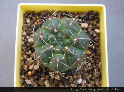 2008/12/11 緋花玉 Gymnocalycium baldianum
