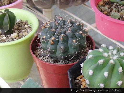 2010/9/14 緋花玉 Gymnocalycium baldianum