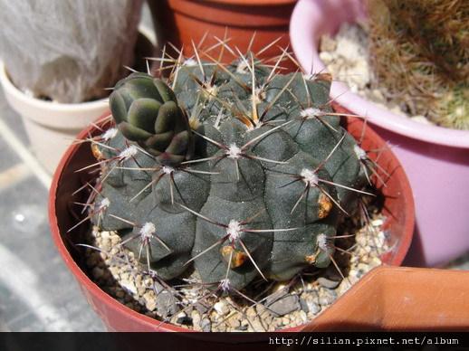 2011/5/20 緋花玉 Gymnocalycium baldianum