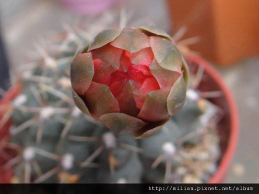 2011/6/8 緋花玉 Gymnocalycium baldianum