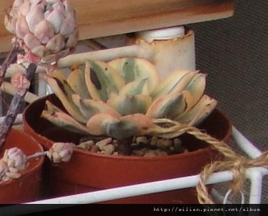2010/11/25 慘不忍賭肉肉們 サンバースト / Aeonium urbicum cv. Variegatum