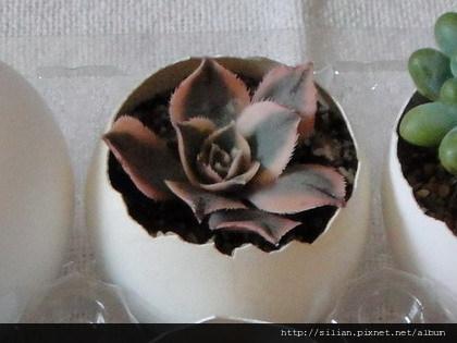 2009/9/16 サンバースト / Aeonium urbicum cv. Variegatum
