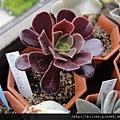 2011623 池袋西武鶴仙園 カシミヤバイオレット / Aeonium cv. Casimiabioret
