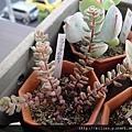 2011623 池袋西武鶴仙園 スプリングワンダー  / Sedum versadense f.chontalense