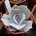 2011623 池袋西武鶴仙園 リナシナ / Echeveria lilacina