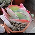 2011623 池袋西武鶴仙園 唐印 / Kalanchoe thyrsiflora