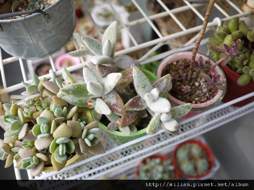 2011/6/11 福兔耳 / Kalanchoe eriophylla