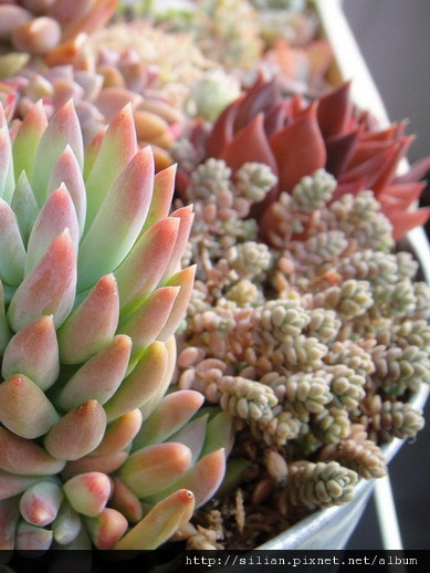 2010/11/27 Sedum dasyphyllum / 姬星美人 / 姫星美人ひめほしびじん