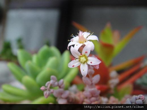 2011/6/27 Sedum dasyphyllum / 姬星美人 / 姫星美人ひめほしびじん